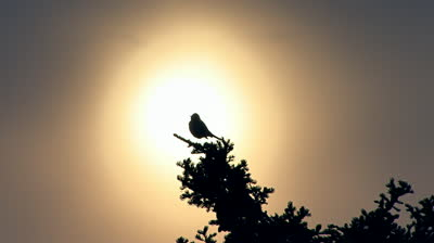 stock-footage-bird-chirping-in-treetop-backlit-by-diffuse-sun