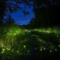 Haiku : Fireflies