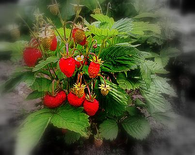 1-4420944-670922-strawberry-plant