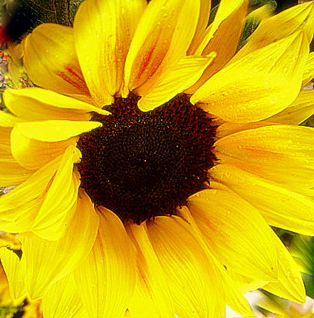 yellow-sunflower