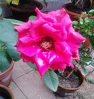 Pink rose in my courtyard garden