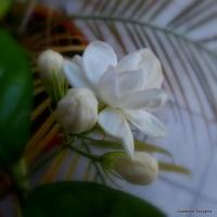 Haiku: Jasmine