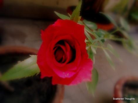 1-rose 011
