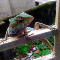 Details: Chameleon