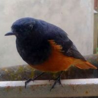 Unusual Guest in my House: A Migratory Bird, Black Redstart or Laal Girdi