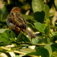 Birds We See Around: The Common House Sparrows (Passeridae)